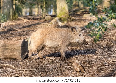 Wild Boar (sus scrofa scrofa) searching for food