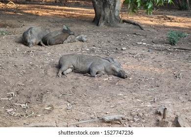Wild Boar (Sus scrofa) sleeping in the wilderness .Couple Powerful wild boar on a rest, resting animal in early spring, hunting in Russia. Close-up. - Image