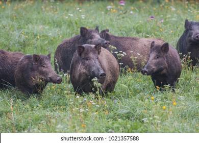 wild boar, sus scrofa, Slovakia