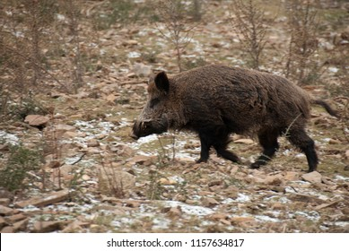 wild boar, sus scrofa,, spain