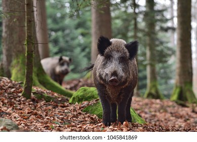 The wild boar (Sus scrofa - wild swine - Eurasian wild pig - wild pig) in his natural environment in european forest in late autumn