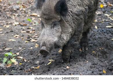Wild boar, Sus scrofa, wild swine, Eurasian wild pig or wild pig. Portrait Close up