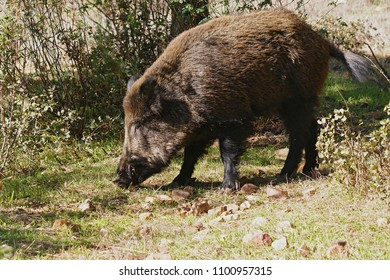 Wild boar (Sus scrofa) in the wild in Toledo, Spain.