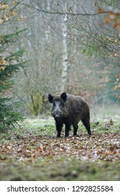 Wild boar (Sus scrofa), Tusker, Germany, Europe