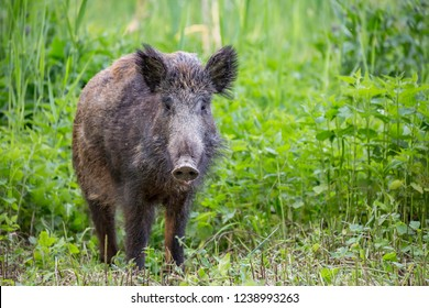 Wild boar ( Sus scrofa )  walking in nature still life. Dense forest trees, reeds and grass, wild landscape. The natural scenery , Wildlife.
