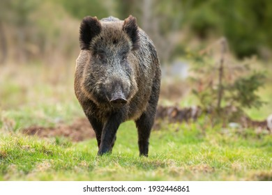 Wild boar, sus scrofa, walking closer from front on a meadow in spring. Male mammal standing on a glade with copy space. Animal wildlife in nature.