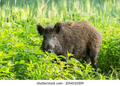 Wild boar - Sus scrofa. Wilderness. Walking in nature still life, marsh. Dense forest trees, reeds and grass, wild landscape. The natural scenery of Slovakia, Europe. Wildlife.