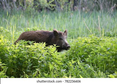 Wild boar - Sus scrofa. Wilderness. Walking in nature still life, marsh. Dense forest trees, reeds and grass, wild landscape. The natural scenery of Slovakia, Europe.