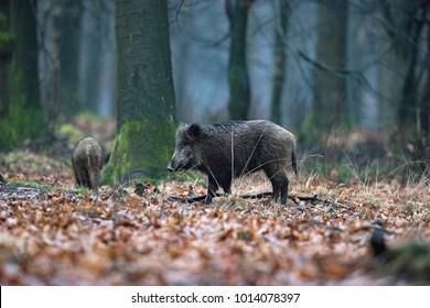 Wild boar (sus scrofa) in winter deciduous forest.
