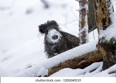 Wild boar, sus scrofa, in winter peeking out with snow on nose. Wild animal in winter hiding behind a tree. Wildlife scenery from wilderness.