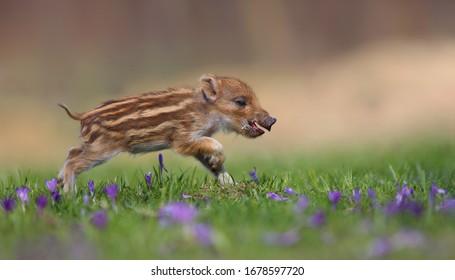 Wild boar, sus scrofa,A young wild boar runs away in a flowering meadow, Young wild boar on meadow.