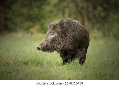 Wild boar, sus scrofa,wild boar in forest natural habitat