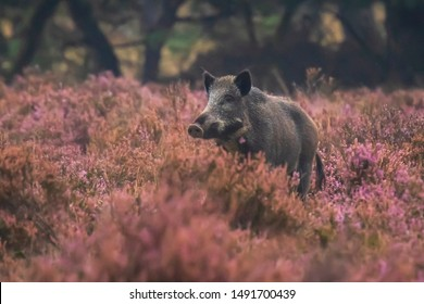 A wild boar, swine or pig (Sus scrofa) foraging in a field with purple heather blooming with a forest on the background.. Hoge Veluwe, the Netherlands Europe.