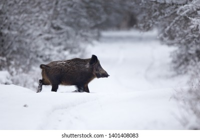 Wild boar walking on snow in forest. Wildlife in natural habitat