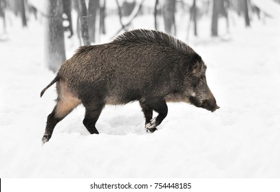 Wild boar in winter forest. Black and white photography with color wild boar