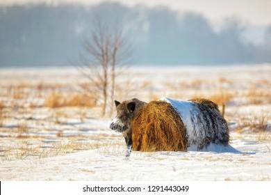 Wild boar in winter scenery in the wild