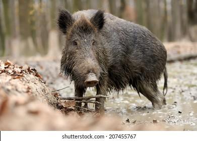 Wild boar in wood. Boar in dirt