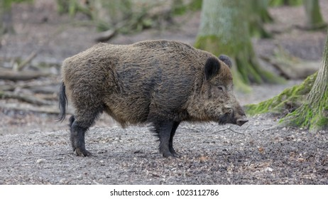 Wild Boar in the woods