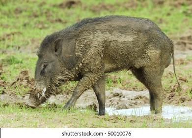 Wild Boar in Yala West National Park, Sri Lanka