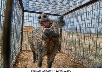 Wild boars caught in a box trap
