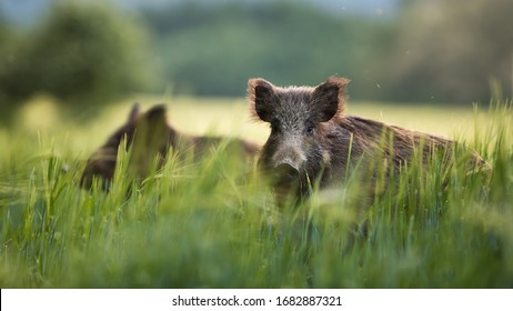 Wild boars feeding on green grain field in summer. Wild pig hiding in agricultural country copy space. Vertebrate grazing in summertime with blurred background.