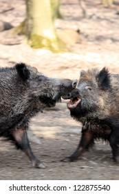 wild boars fighting in spring forest, motion blur