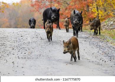 Wild boars in Park Omega ,Canada