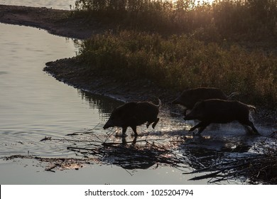 wild boars running in water