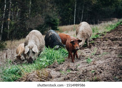 Wild boars (Sus scrofa) animal family with baby boar in autumn forest in Europe