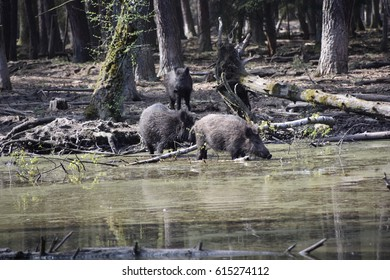 Wild boars in swamp