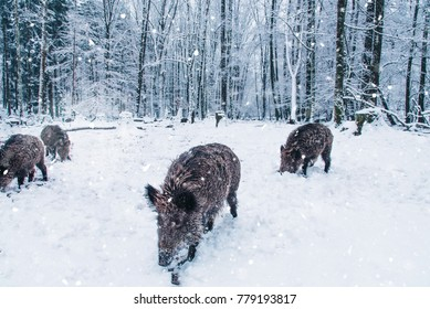 Wild boars in the winter Black Forest, Germany.