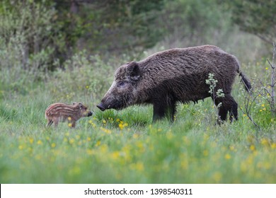 Wild boar,Sus scrofa,wild boar with young in the forest,