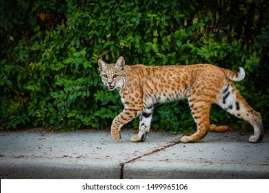 Wild Bobcat encroaching on city. Roaming the streets of a city neighbourhood hunting for rabbits in the summertime