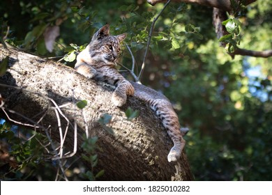 Wild Bobcat in a tree