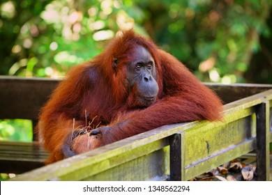 Wild Bornean orangutan at Semenggoh Nature Reserve, Wildlife Rehabilitation Centre in Kuching. Orangutans are endangered apes inhabiting rainforests of Borneo ( Kalimantan ) in Malaysia and Indonesia