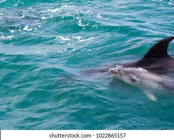 Wild Bottle Nose Dolphin with Baby Calf Swimming Together Out to Sea near Russell, Bay of Islands, New Zealand