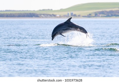 Wild bottlenose dolphin in their natural environment, natural wild and free