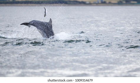 Wild bottlenose dolphin tursiops truncatus. These images show wild bottlenose dolphins in their natural environment and having fun, playful, breaching and hunting