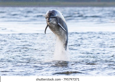 wild bottlenose dolphin tursiops truncatus