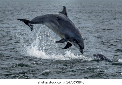 Wild Bottlenose Dolphins Jumping Out Of Ocean Water At The Moray