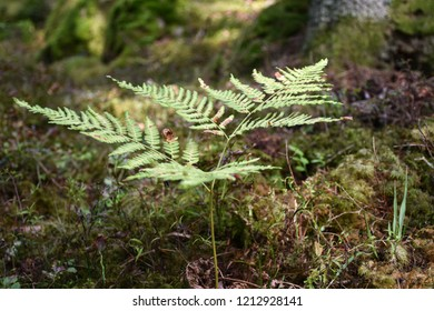 Wild bracken plant closeup by a forest fround