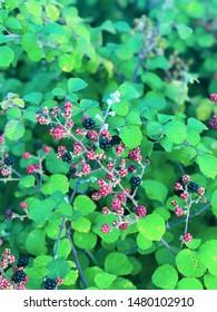 wild bramble in nature, green blackberry