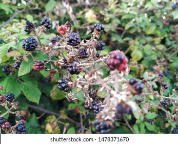 Wild brambles bush with blackberries