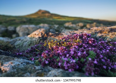 Wild Breckland Thyme on rocky hiterland at St Davids Head in Pembrokeshire, Wales, UK