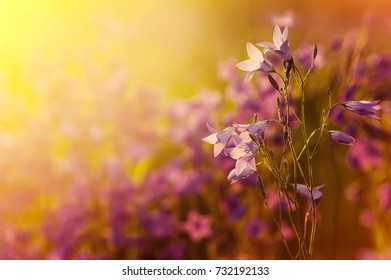 Wild bright flowers bells in the sun at sunset