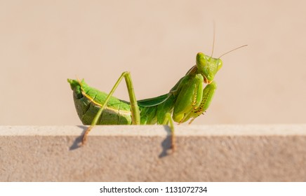 wild bright green fat praying mantis crouched looking directly at camera on a stone step