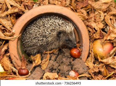 Wild British Hedgehog in Golden Autumn Leaves inside a plant pot with horse chestnuts and apples