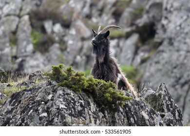 Wild British Primitive Goats (Capra hircus) also know as Wild Feral Goats. Taken in Findhorn Valley,  Scotland.