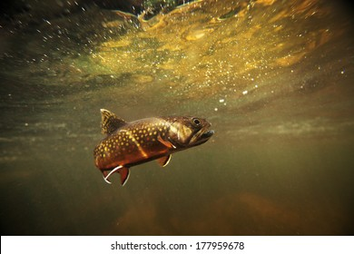 wild brook trout underwater in a spring fed stream.