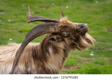 Wild brown adult male goat portrait on a green grass background. Goat buck with large black horns resting on the Dalkey Island in County Dublin, Ireland.